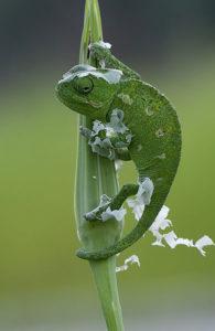 Chamaeleo_chamaeleon_-_Common_Chameleon_-_Bukalemun